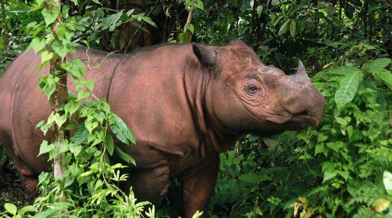 Un altro gigante se n'è andato, si è estinto in natura il rinoceronte di Sumatra di Sabah